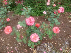 Beautiful Roses in Oregon