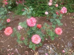 Beautiful Roses in Oregon