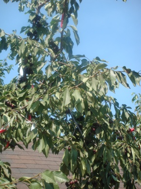 Pick Your Own Cherries in Hood River Oregon