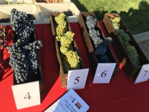 Wine grapes from Lodi